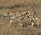 7 Day Camping Safari to Serengeti, Lake Natron and Oldonyo Lengai